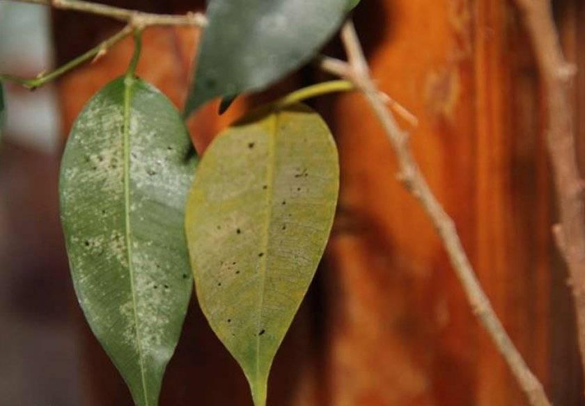 Болезни фикуса и их лечение, фотографии листьев