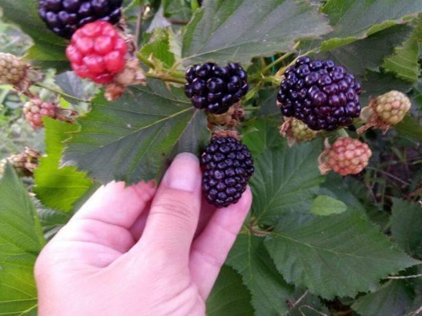 Ежевика рубен: описание сорта с характеристикой и отзывами, особенности посадки и выращивания и ухода, фото