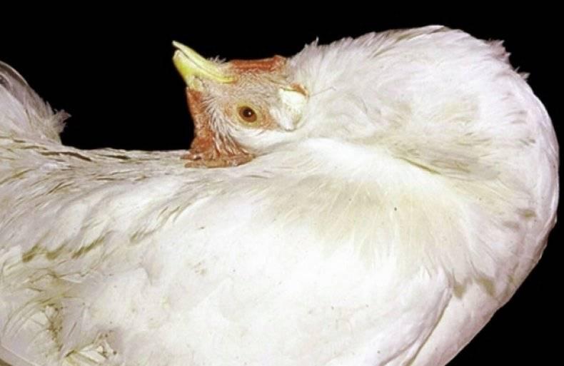 Болезни цыплят и курей, их лечение: фото и описание признаков в картинках