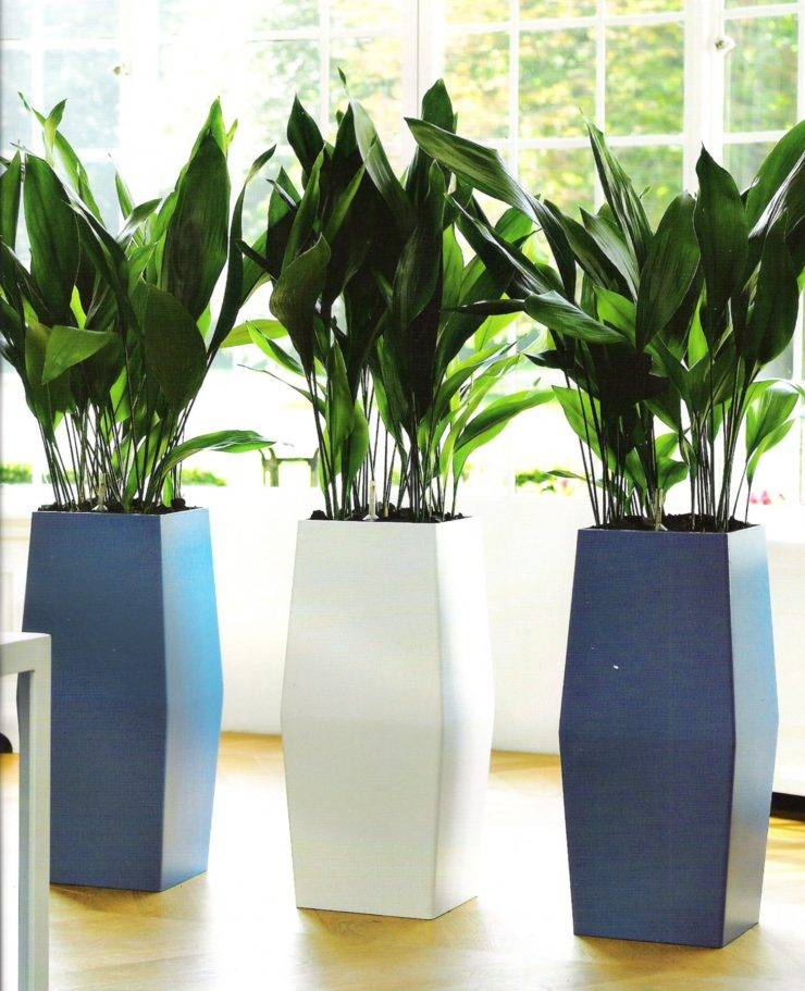 Аспидистра - 130 фото и видео уроки по выращиванию и размножению растения в домашних условиях