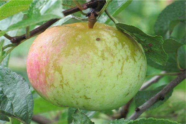Сорт яблони июльское черненко - мыдачники
