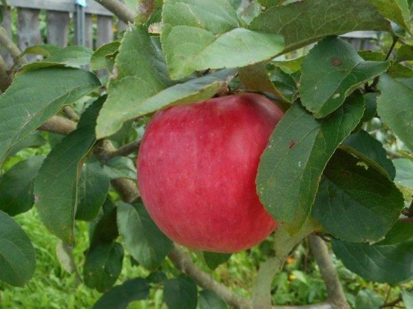 Сорт яблок флорина описание, фото, отзывы