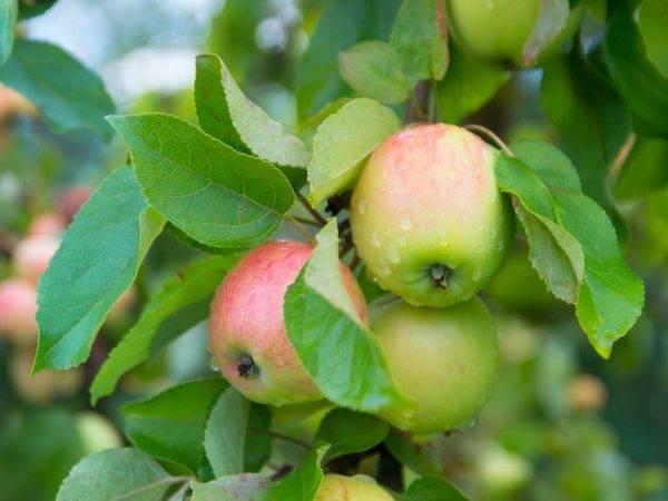 Зимняя яблоня мартовское