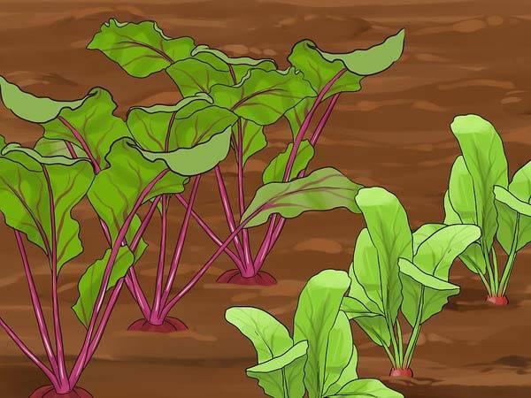 Посадка свеклы семенами в открытый грунт, на рассаду, в теплицу, сроки посева, видео