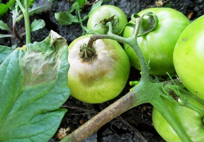 Фитофтора на помидорах: как бороться, чем обработать