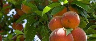 Правила посадки и выращивания колоновидных абрикосов
