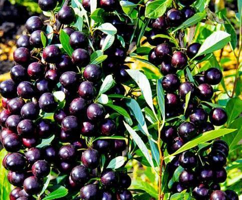 Сорт вишни бессея: описание, фото