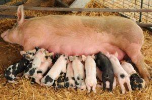 Всё об искусственном осеменении свиней. техника и виды оплодотворения