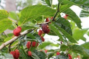 Шелковица черная, выращивание и уход, сорта с описанием, характеристикой и отзывами, фото