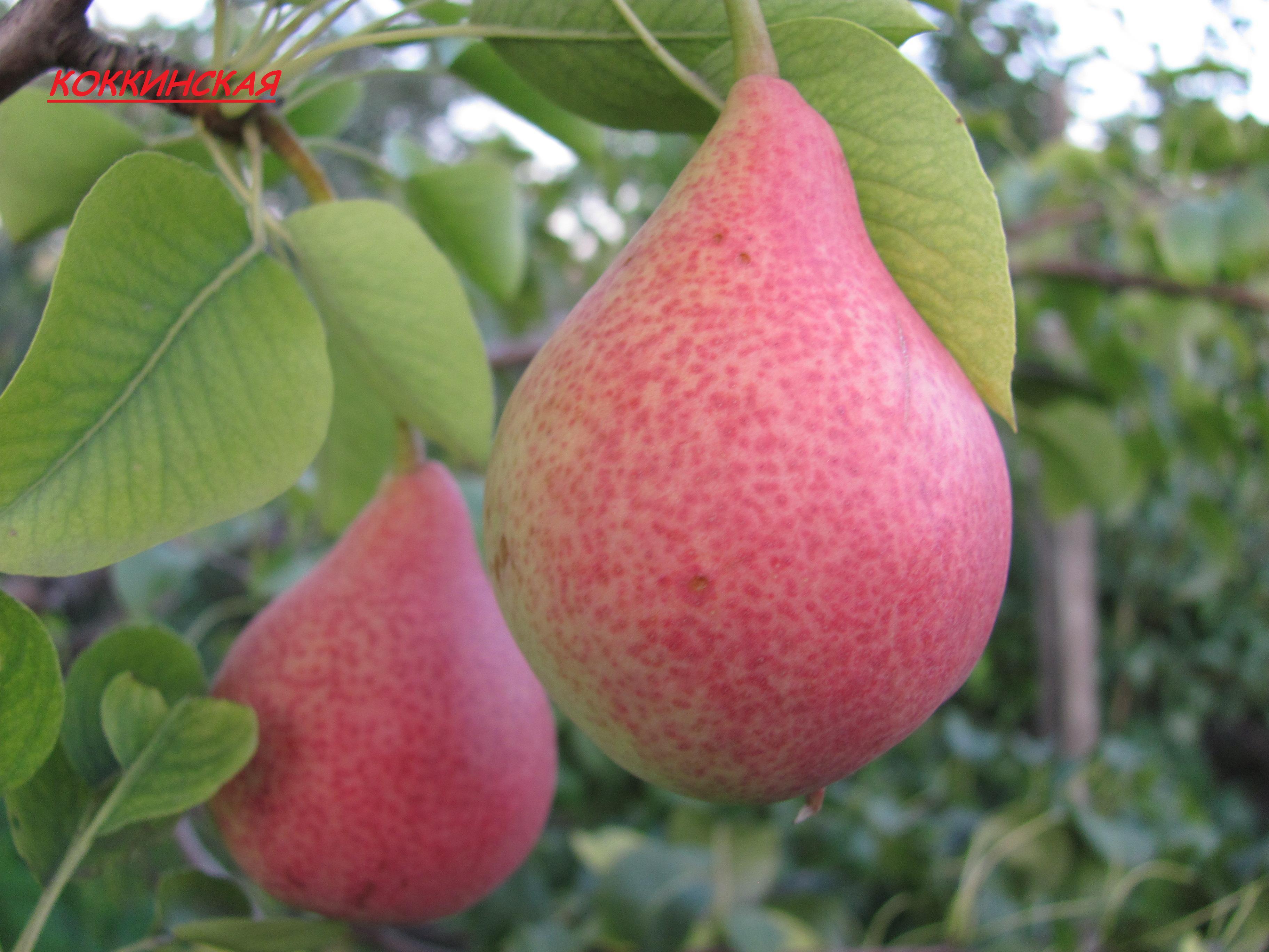Груша завея: описание сорта, фото, отзывы садоводов