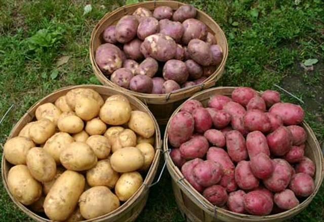 Какова урожайность картофеля с 1 га земли - мегарод