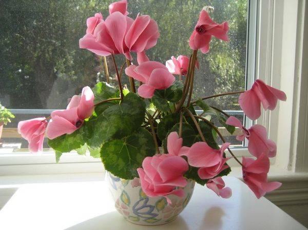Цикламен в домашних условиях - советы по выращиванию + 78 фото