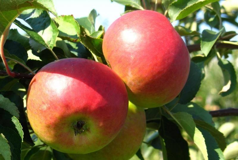 Описание сорта яблони поспех: фото яблок, важные характеристики, урожайность с дерева