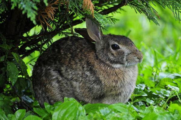 Мокрец у кроликов: чем лечить болезнь, описание, фото