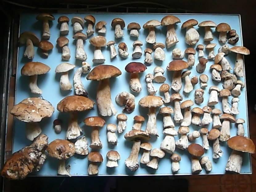 Боровик - белый гриб или царь грибного царства: фото описание, рецепты, картинка в лесу