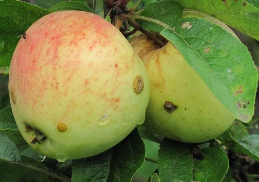 Яблоня аркад: сахарный, желтый, розовый, описание сорта, фото, отзывы