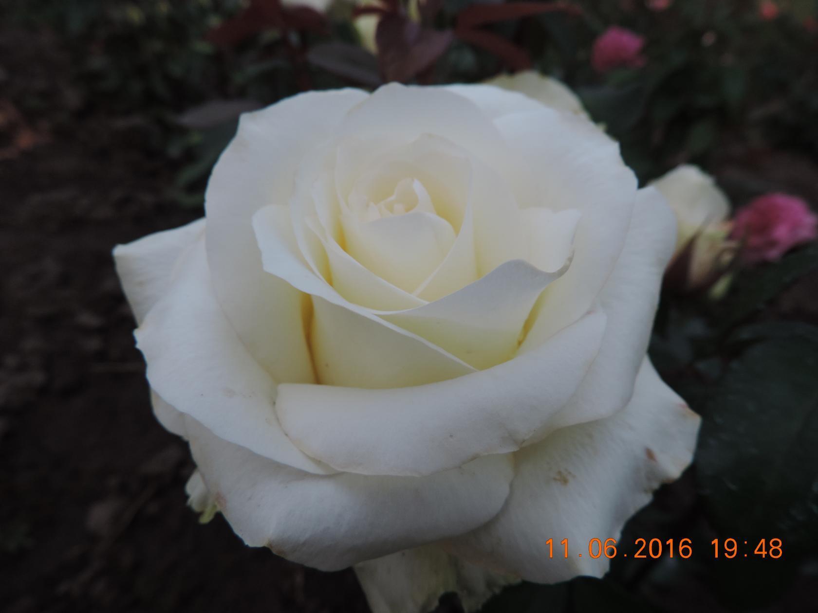 """Чайно-гибридные розы: лучшие сорта и правильная обрезка - проект """"цветочки"""" - для цветоводов начинающих и профессионалов"""