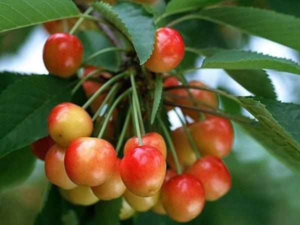 Черешня фатеж – характеристики сорта и методика выращивания