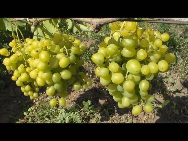 """Виноград """"супер экстра"""": описание сорта, вредители, заболевания и фото selo.guru — интернет портал о сельском хозяйстве"""