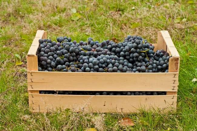 Сорт винограда московский белый