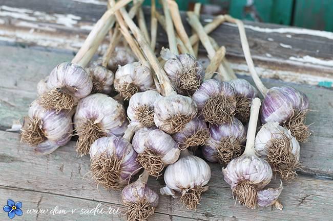 Чем подкормить чеснок весной. натуральная подкормка чеснока весной. целых 5 вариантов! | красивый дом и сад