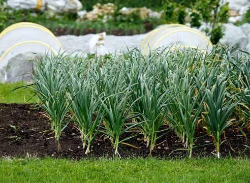 Когда и как сеять лук-порей на рассаду