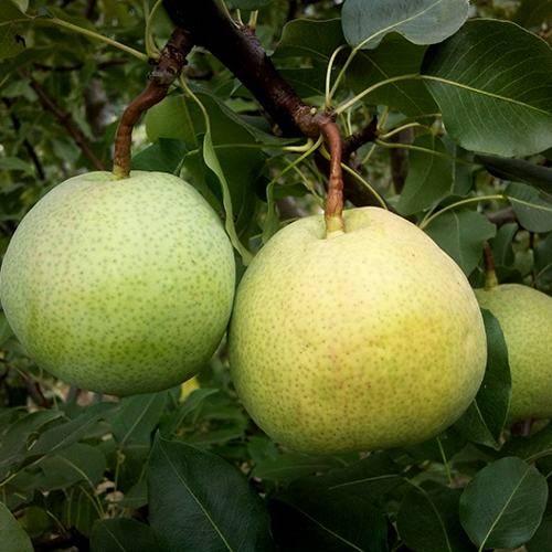Груша «десертная россошанская»: описание сорта, фото