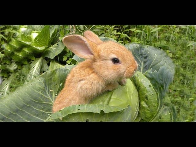 Можно ли кормить кроликов капустой и в каком количестве