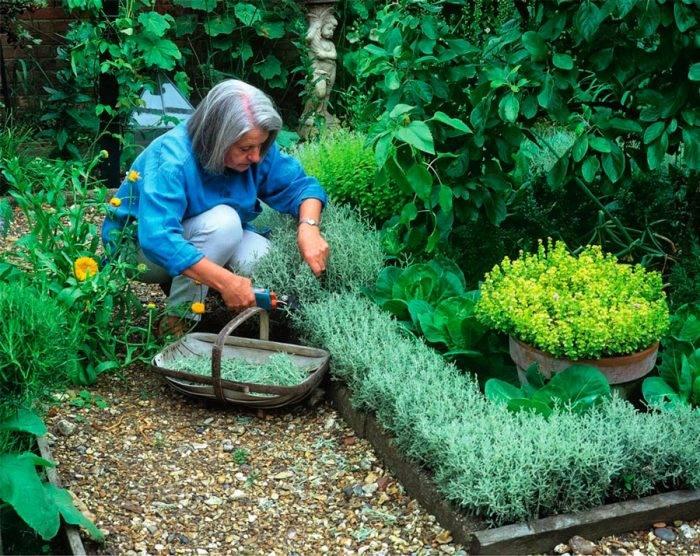Сантолина: уход и посадка, выращивание и фото растения