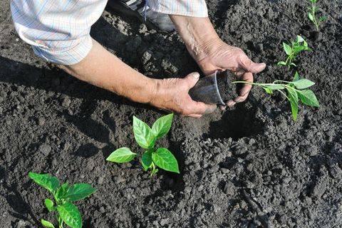 Нужно ли окучивать перцы в теплице и открытом грунте - дачный журнал садовода