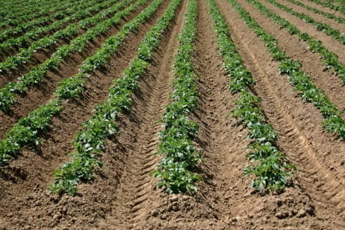 Удобрения для картофеля при посадке - какие выбрать, как правильно удобрять, сроки и нормы внесения