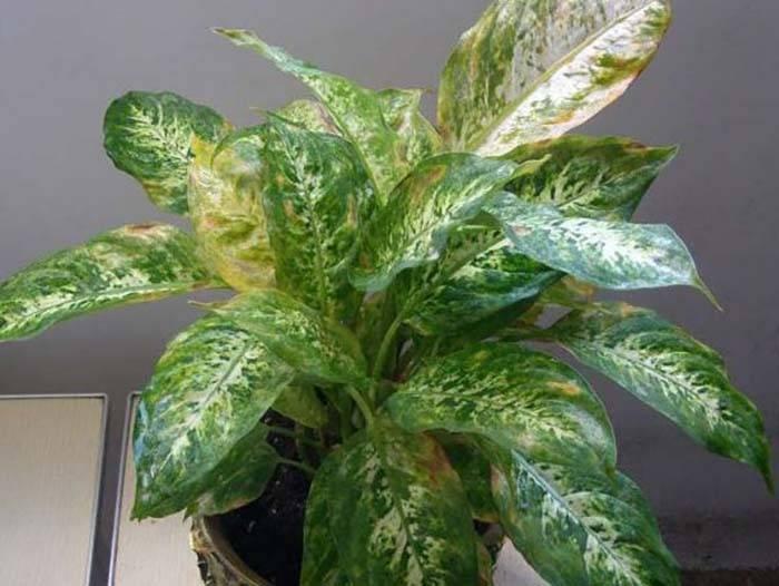 Желтеют листья у диффенбахии — причина и методы лечения