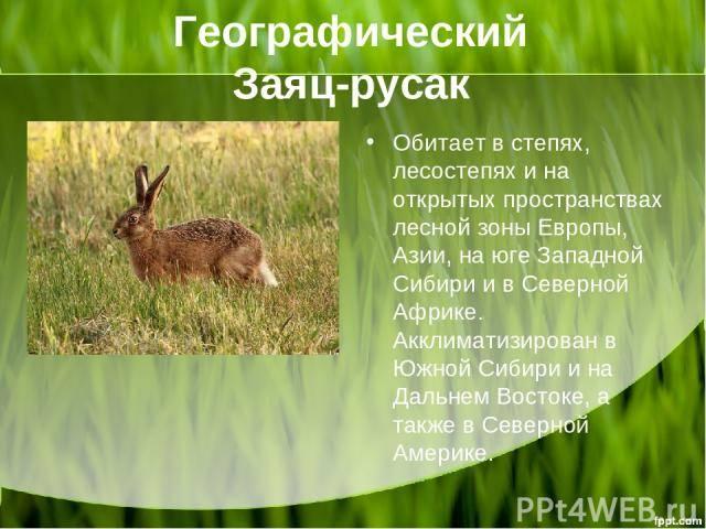 Описание зайца: виды, как выглядит и где живет заяц-русак, чем питается в лесу и интересные факты | tvercult.ru