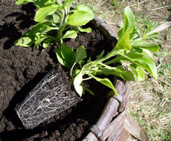 Посадка петунии – как поливать, удобрять, пересаживать и размножать цветок?