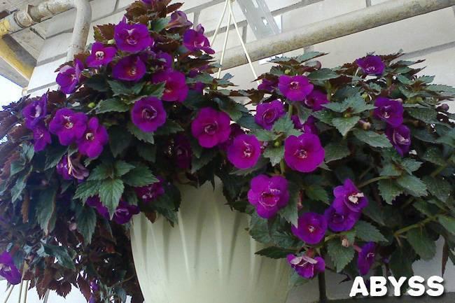 Ахименес: фото цветов, уход за великолепным комнатным растением
