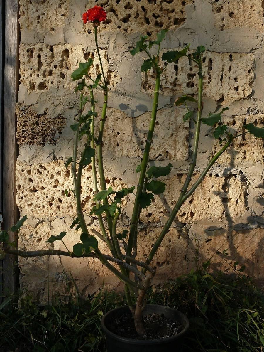 Формирование красивой герани: когда и как правильно обрезать растение, как за ним ухаживать?