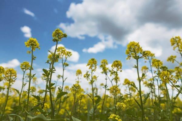 Горчица: использование и особенности посева в разные времена года | cельхозпортал