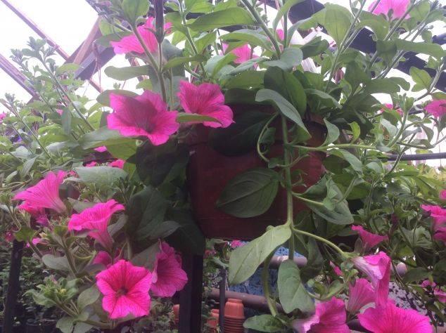 Чем подкормить петунию - рассаду, для обильного цветения