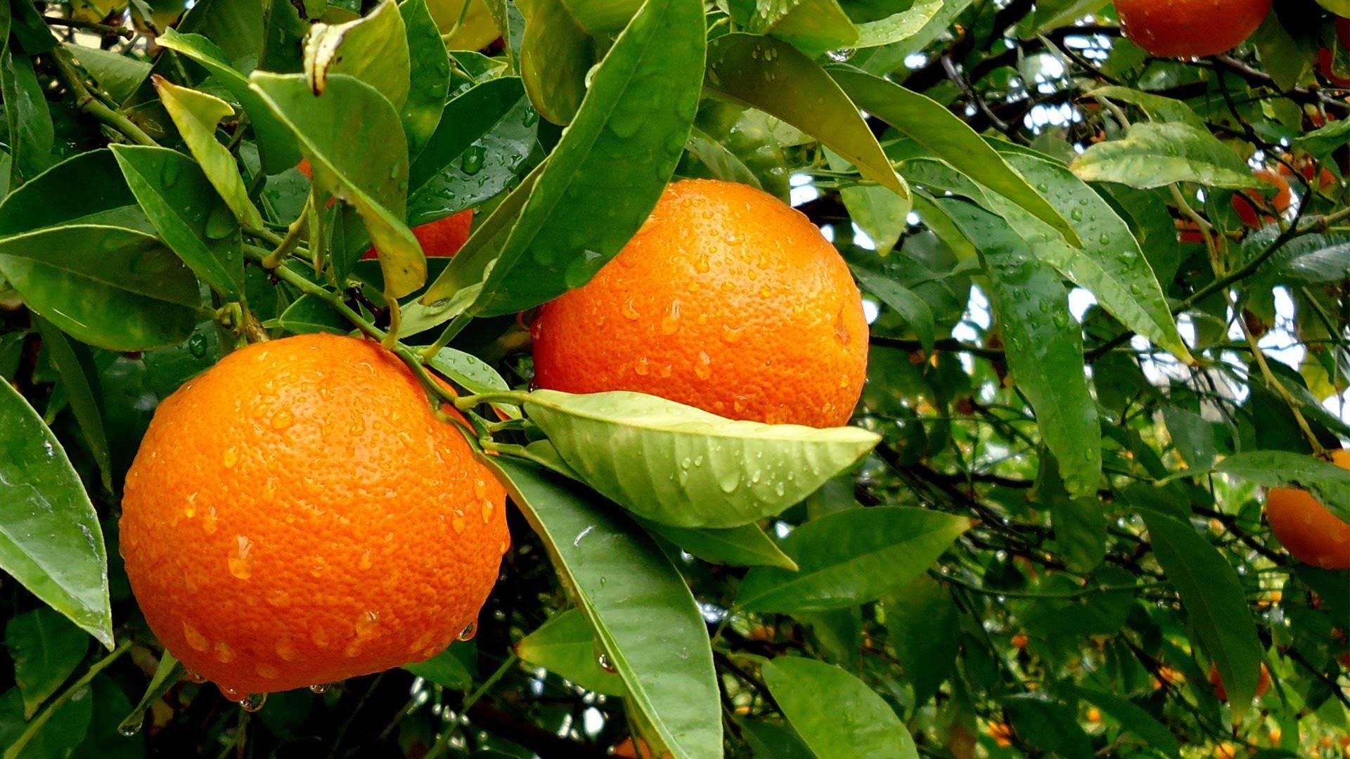 Как вырастить мандарин из косточки в домашних условиях: выбор посадочного материала и грунта. правила содержания мандаринового деревца в комнатных условиях (115 фото)