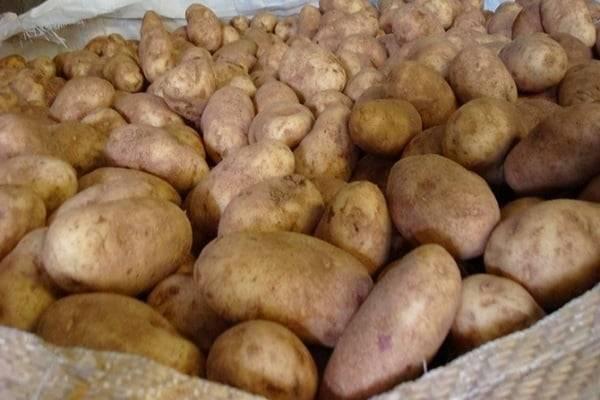 Картофель джелли: описание и характеристика сорта, посадка и уход, отзывы с фото