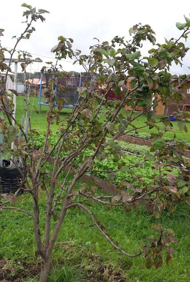 Сохнут яблони, что делать? почему засыхает плодовое дерево и как его спасти?