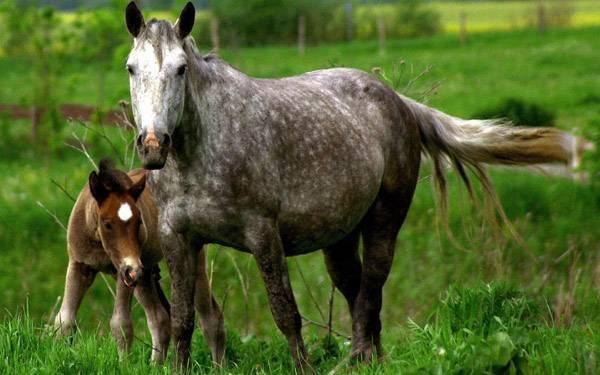Спаривание лошадей: подбор пород, возраст, размножение, фото