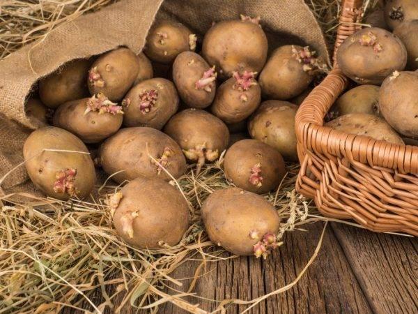Выращивание картофеля по методу кизимы: описание метода, описание и уход, отзывы, фото