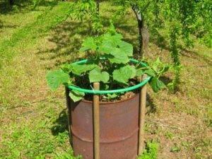 Огурцы в бочке - выращивание, все плюсы и минусы новой методики
