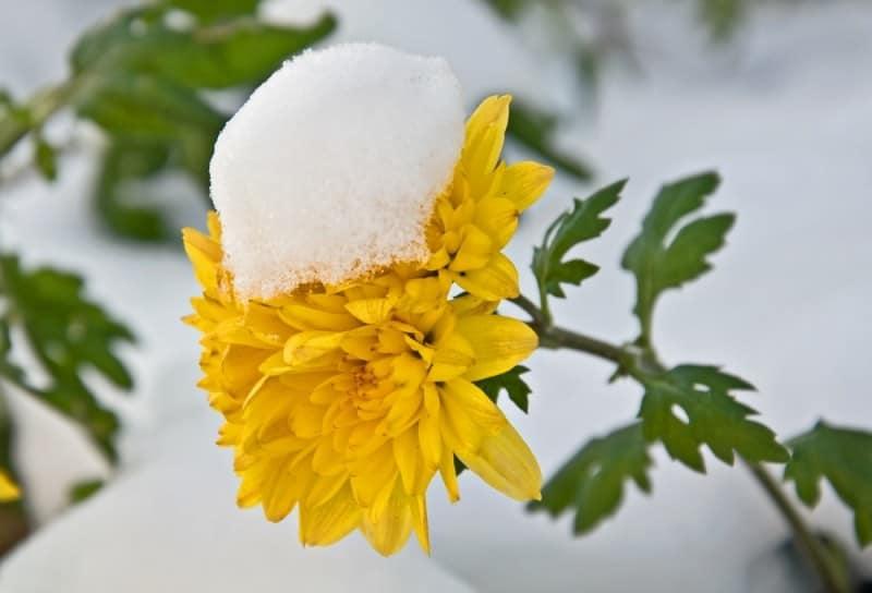 Как укрыть хризантемы на зиму на участке: особенности укрытия цветов в подмосковье и средней полосе
