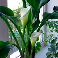Калла - фото, посадка и уход, когда выкапывать, выращивание в комнатных условиях, хранение луковиц