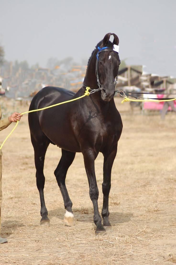 Марвари: характер, особенности, фото | мои лошадки