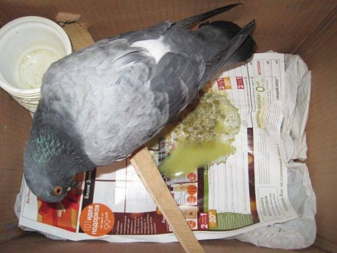 Вертячка у голубей — лечение, симптомы, этапы развития