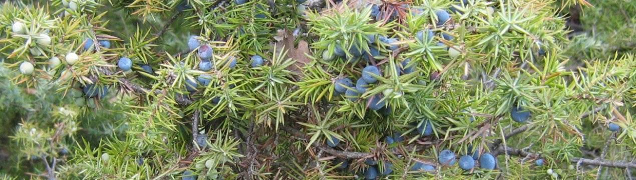 Можжевельник: посадка и уход в открытом грунте, виды и сорта с фото