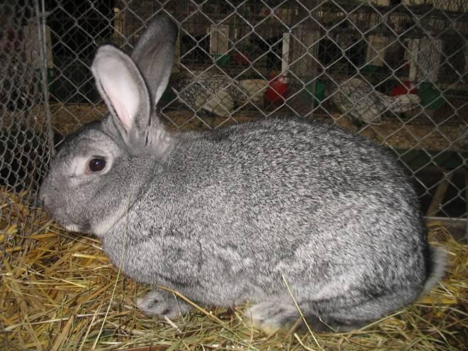 Почему крольчиха не делает гнездо и не рвет пух